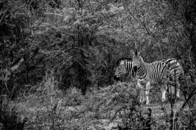 Zebra captured on safari with the Panasonic Lumix G9