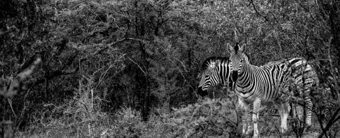 Zebra captured on safari with the Panasonic Lumix G9